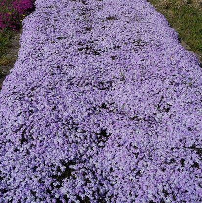 цветущий коврик из шиловидного флокса