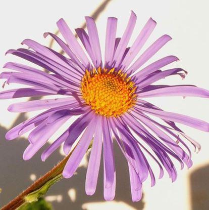 купить астру летнюю астра альпийская хризантему цветущую летом